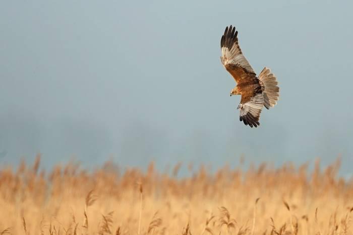 Marsh Harrier shutterstock_189421109.jpg
