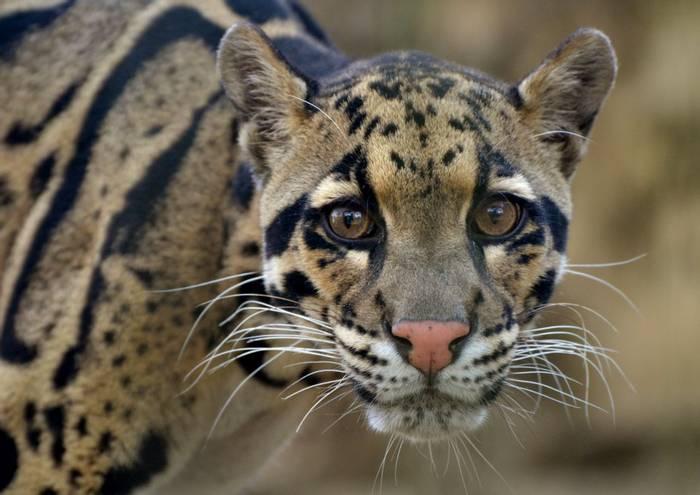 Clouded Leopard - Borneo Dermakot reserve shutterstock_655666393.jpg