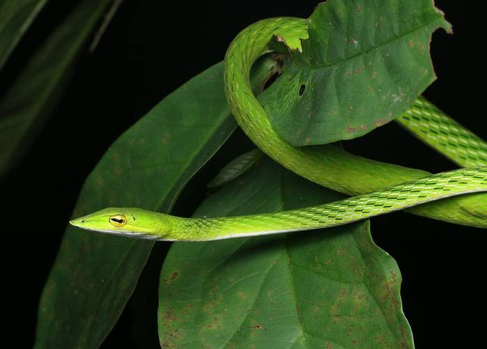 Green Vine Snake (Ahaetulla nasuta) Sri Lanka
