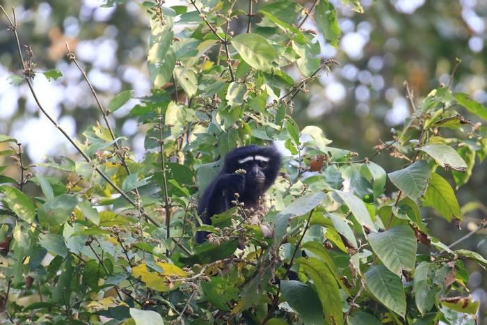 Western Hoolock Gibbon (Sujan Chatterjee)
