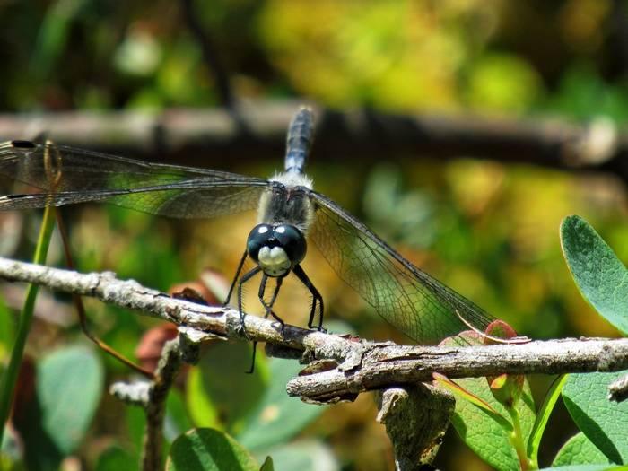 Dark Whiteface dragonfly, Poland shutterstock_1339317818.jpg