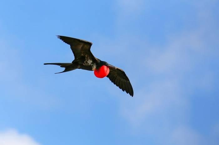 Frigatebird Galapagos Shutterstock 475342495