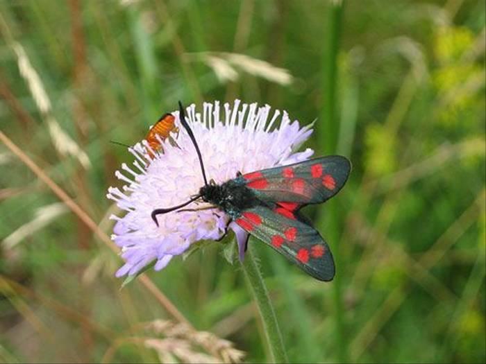 Burnet Moth (Daniel Green)