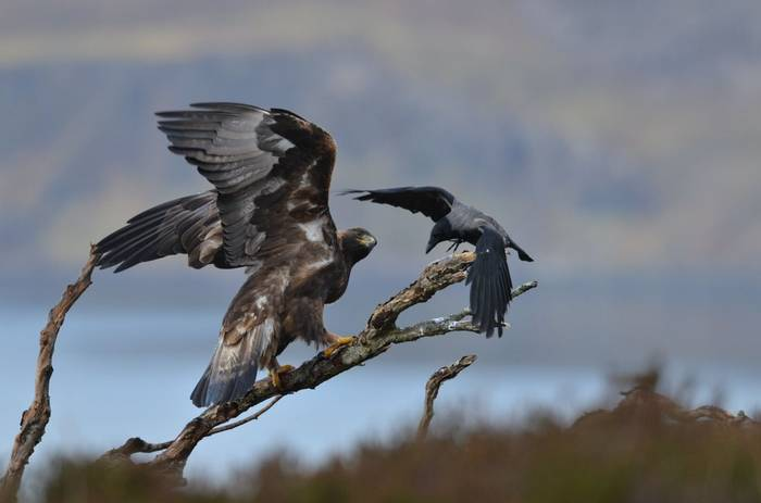Golden Eagle and Hooded Crow