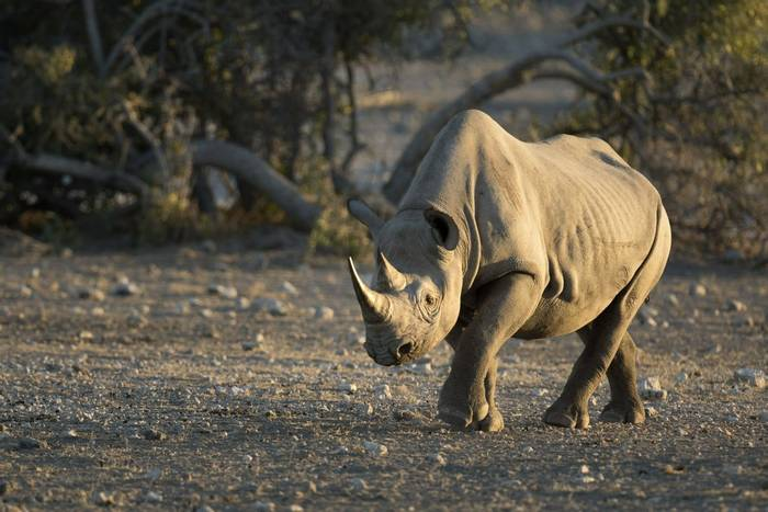 Black Rhino, Zimbabwe shutterstock_621486848.jpg