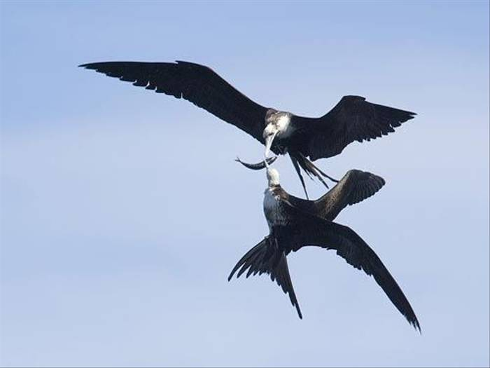 Magnificent Frigatebird (Paul Marshall)