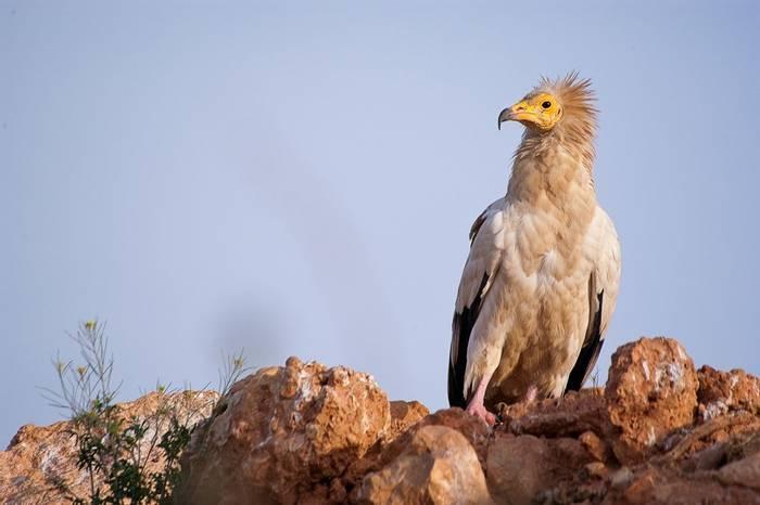 Egyptian Vulture, Spain shutterstock_1268379643.jpg