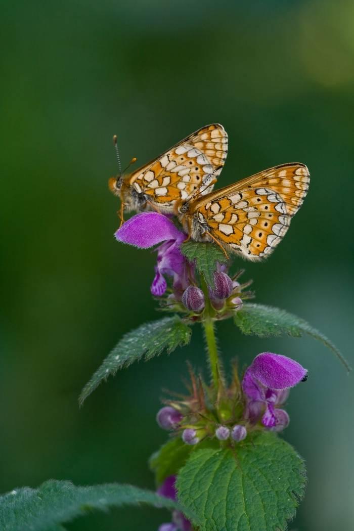 Marsh Fritillary Shutterstock 24525640