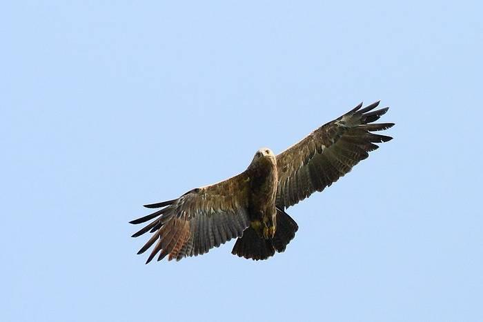 Lesser-spotted Eagle (peter csonka)