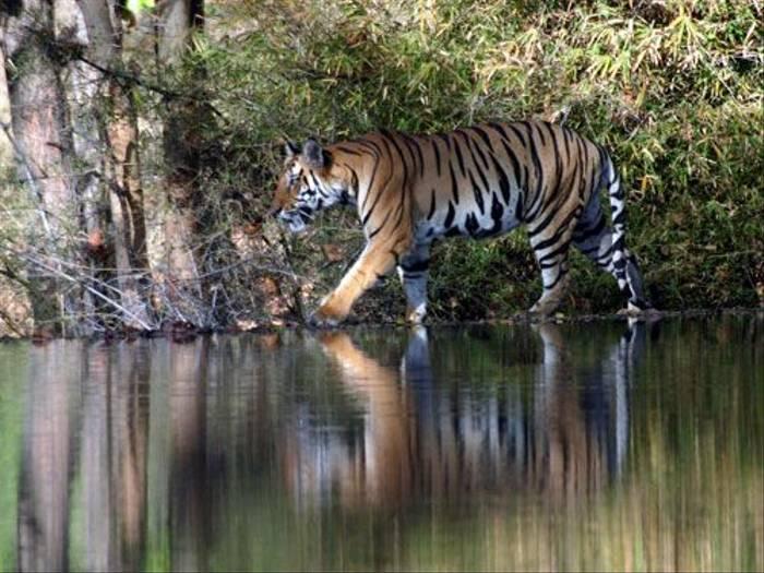 Tiger (Steve Wray)