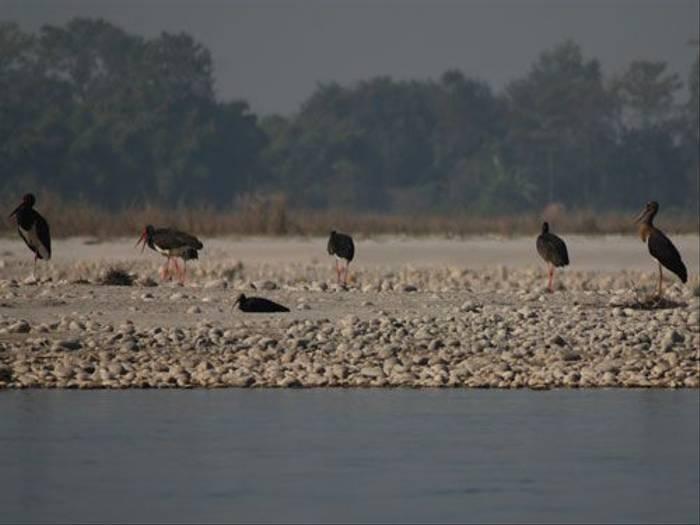 Black Ibis and Black Storks (Thomas Mills)