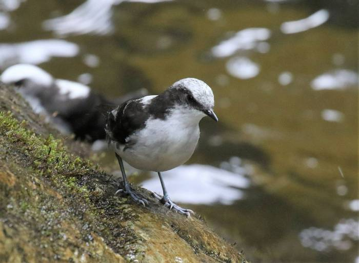 White Capped Dipper (Robin Smith)