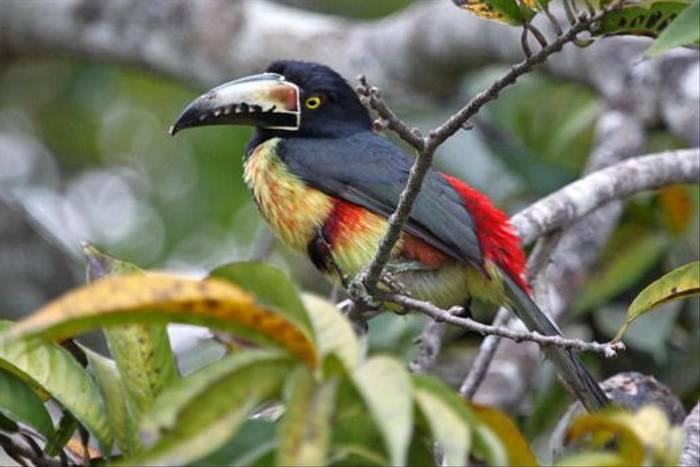 Collared Aracari (Peter Dunn)