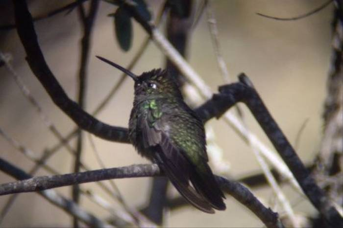 Magnificent Hummingbird (Byron Palacios)