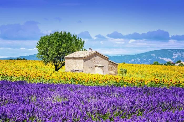 Sunflowers and Lavendar, France shutterstock_226872604.jpg