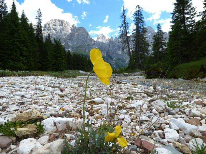 Rhaetian Poppy, Val Venegia by Alan Miller