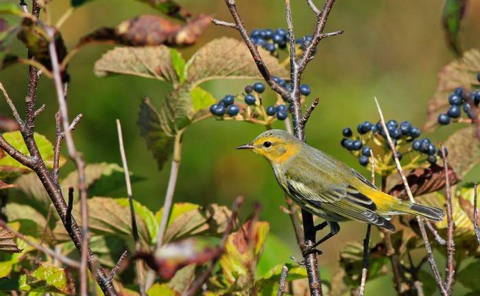 Cape May Warbler (autumn plumage) shutterstock_1317321341.jpg