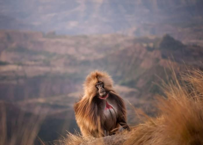 Gelada Baboon, Ethiopia shutterstock_658485145.jpg