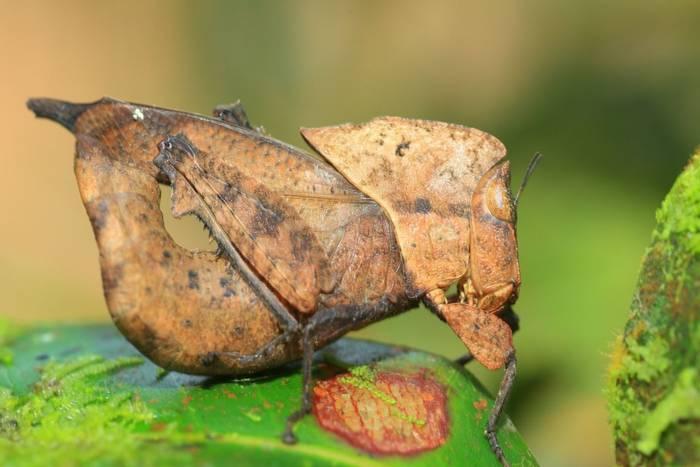 Dead Leaf Mimic Grasshopper (Chorotypus sp), Sinharaja Forest Reserve