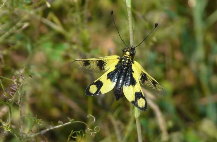 Ascaphalus macaronius (Peter Waterton)
