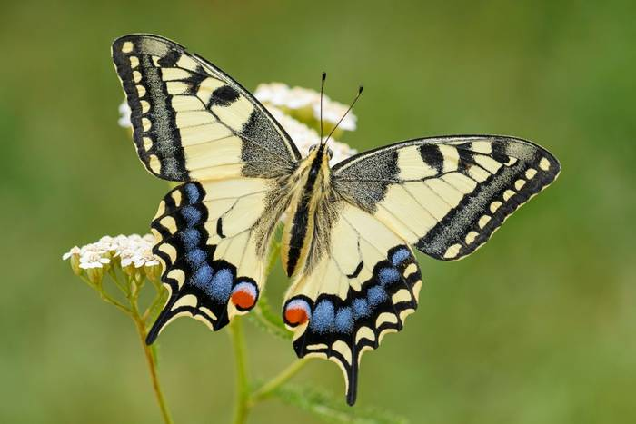 Swallowtail, UK shutterstock_1125818597.jpg
