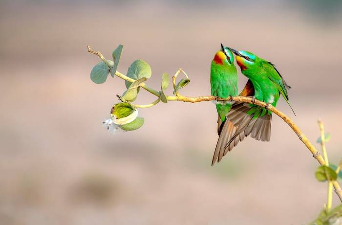 Blue Cheeked Bee Eater Shutterstock 1093214915
