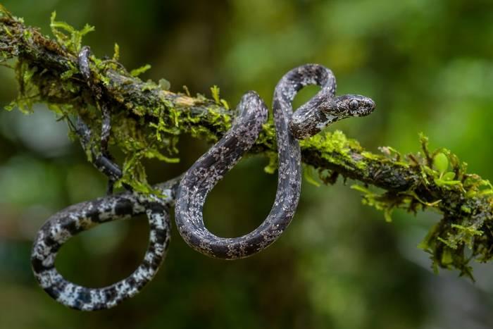 Cloudy Snail-eating Snake (Sibon nebulatus)