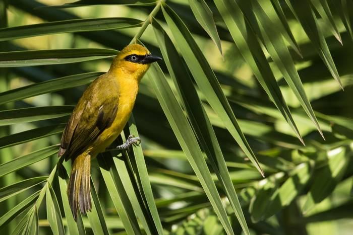 Black Necked Weaver. Ghana. Shutterstock