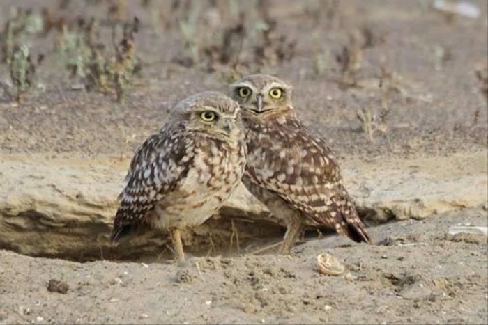 Burrowing Owls (Roger Wasley)