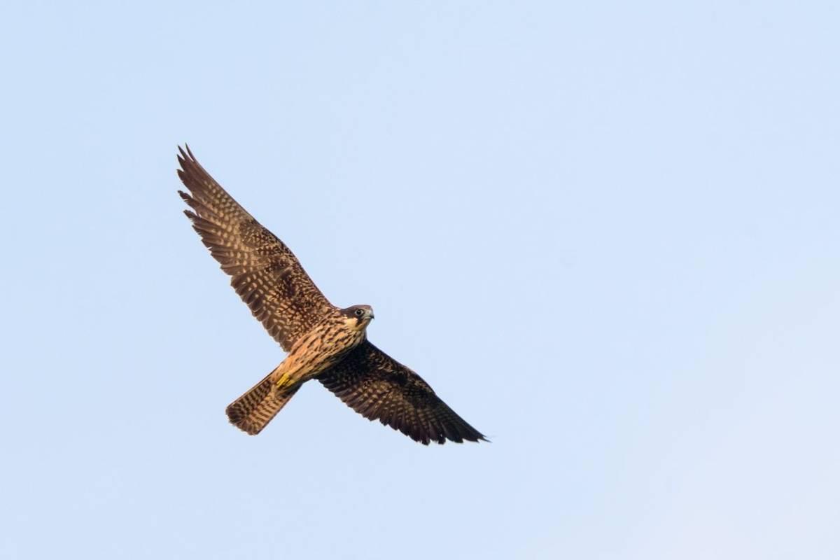 Eleonora's Falcon shutterstock_1667268481.jpg