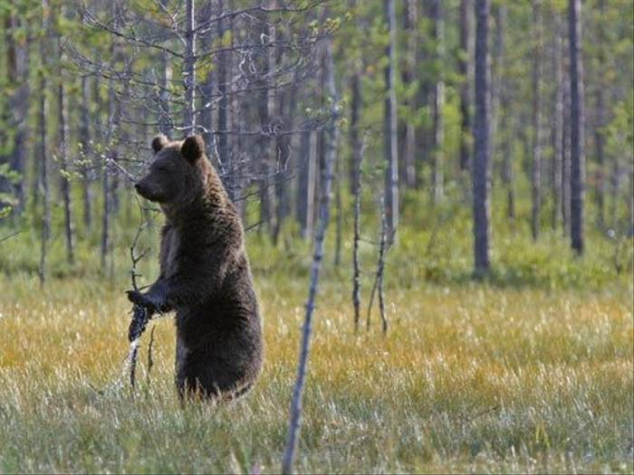 Brown Bear (Pierluigi Cullino)