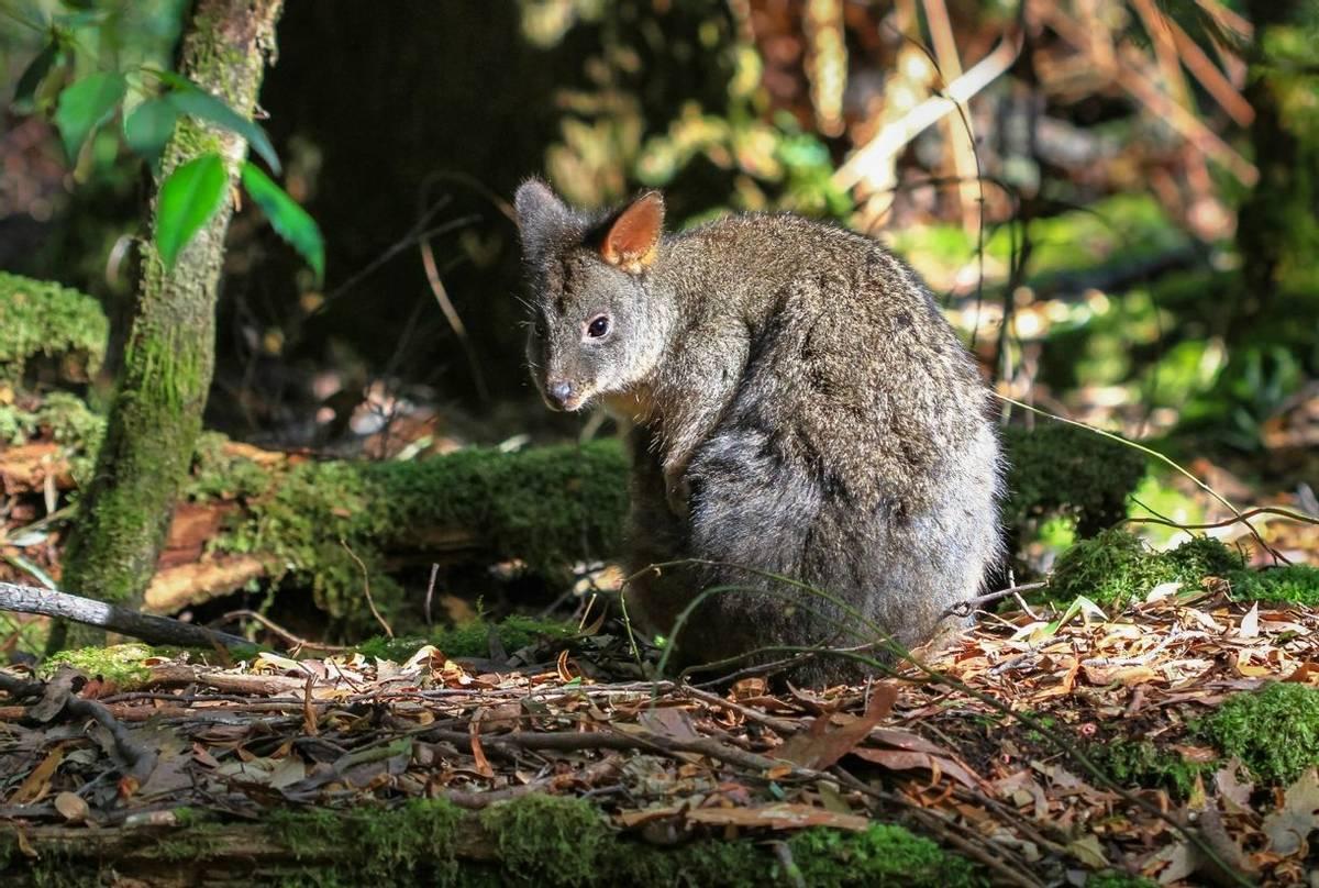 Tasmanian Pademelon. Shutterstock 248485807
