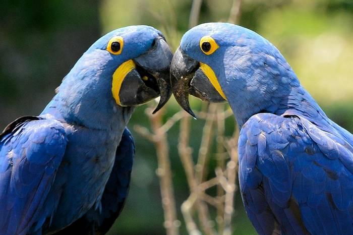 Hyacinth Macaw (Helen Pinchin)
