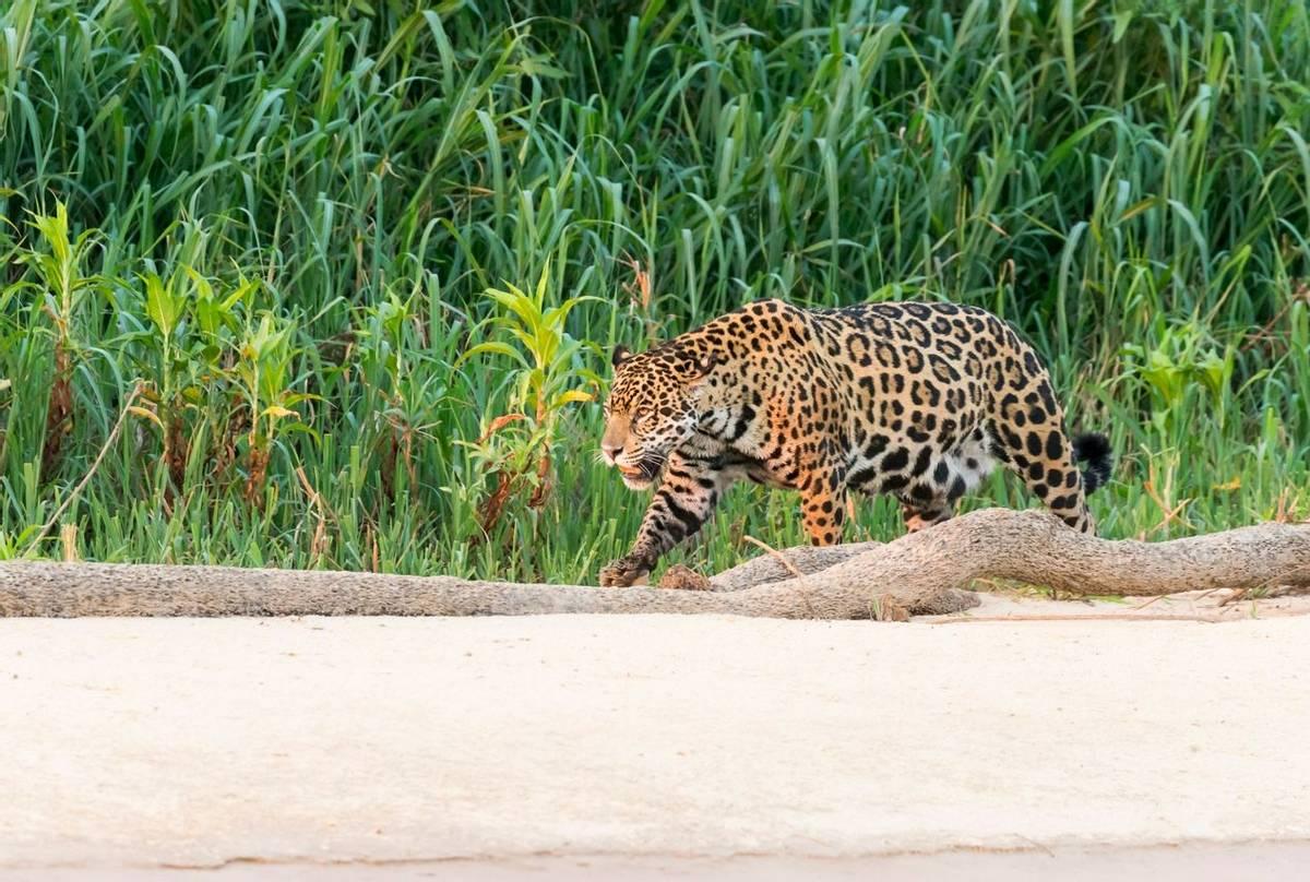 Jaguar, Brazil Shutterstock 1280529748