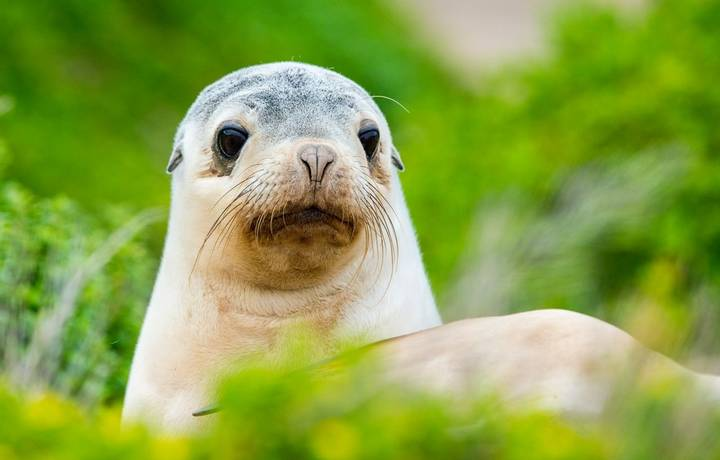puppy australian sea lion on green bush in kangaroo island