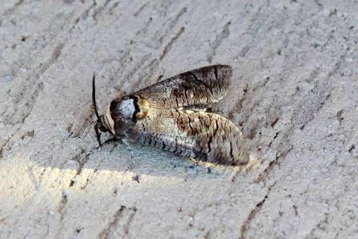 Goat Moth (Andy Harding)