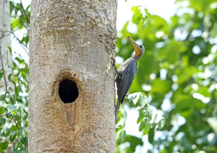 Great Slaty Woodpecker, Nepal shutterstock_335903021.jpg