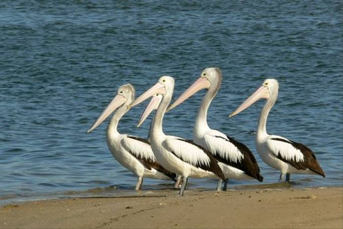 Australian Pelicans at Alfred Cove, Perth (Peter Taylor)
