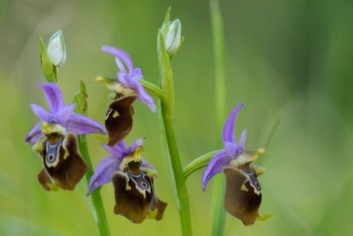Apulian Bee Orchid, Italy shutterstock_316835498.jpg