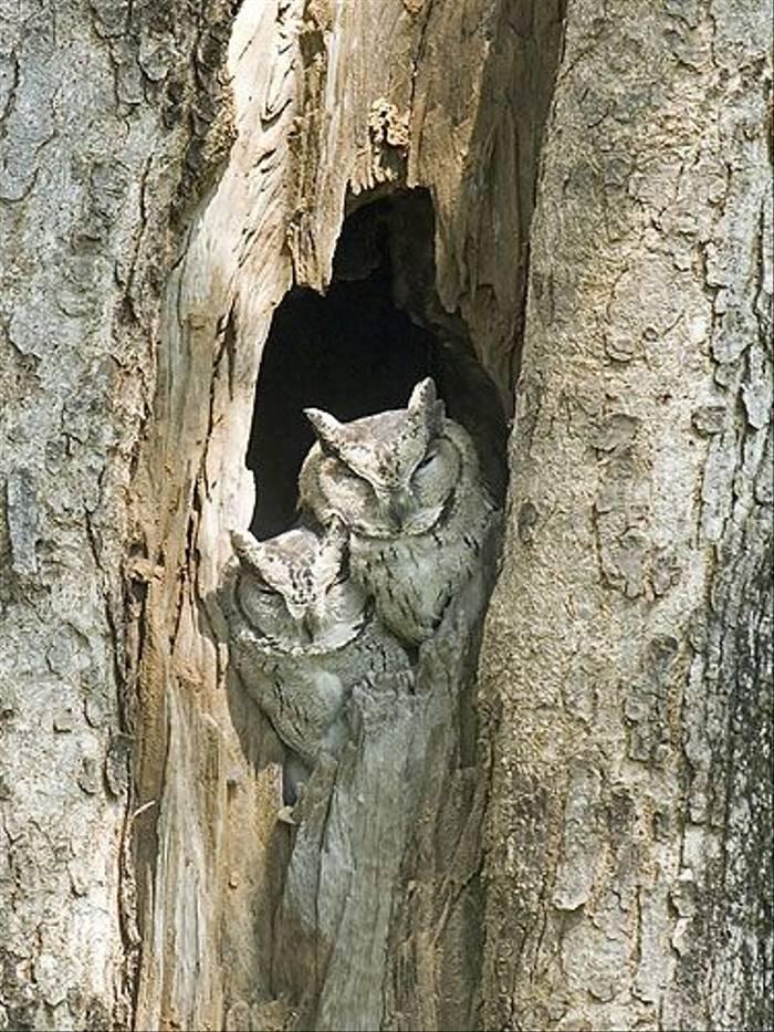 Indian Scops Owl (Paul Marshall)