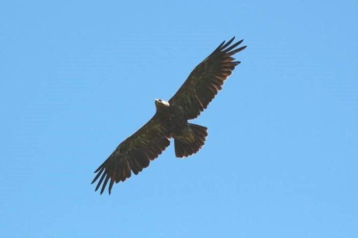 Lesser Spotted Eagle (Andy Harding)