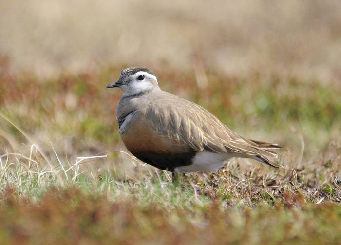 Dotterel (David Fearne)