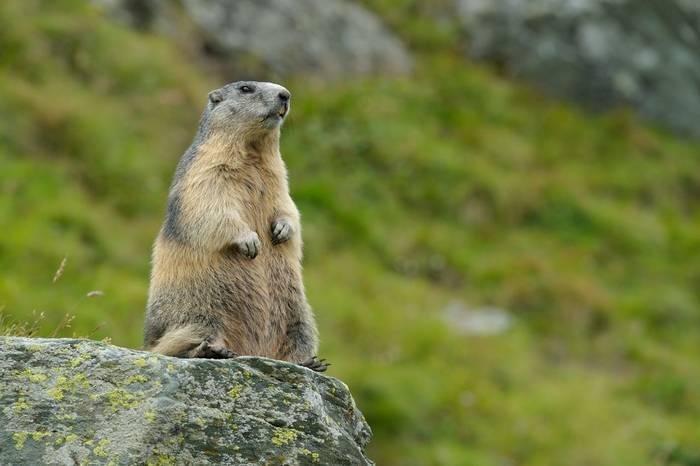 Alpine Marmot.jpg