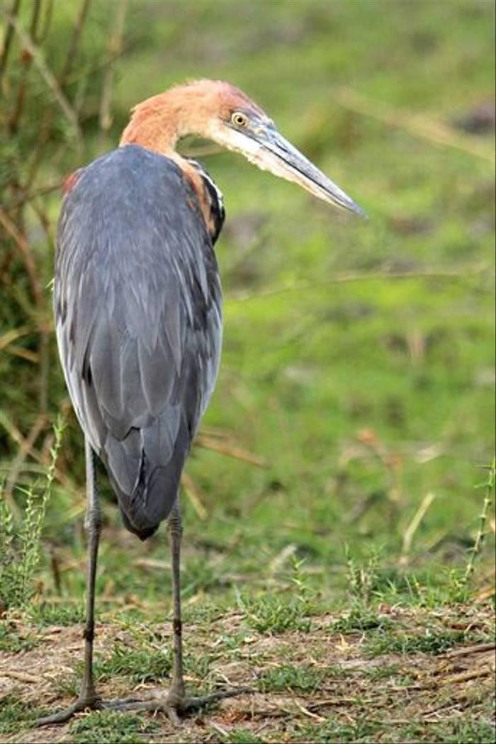 Goliath Heron (Neil Macleod)