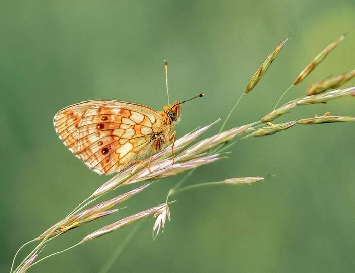 Lesser Marbled Fritillary (Ann Miles)