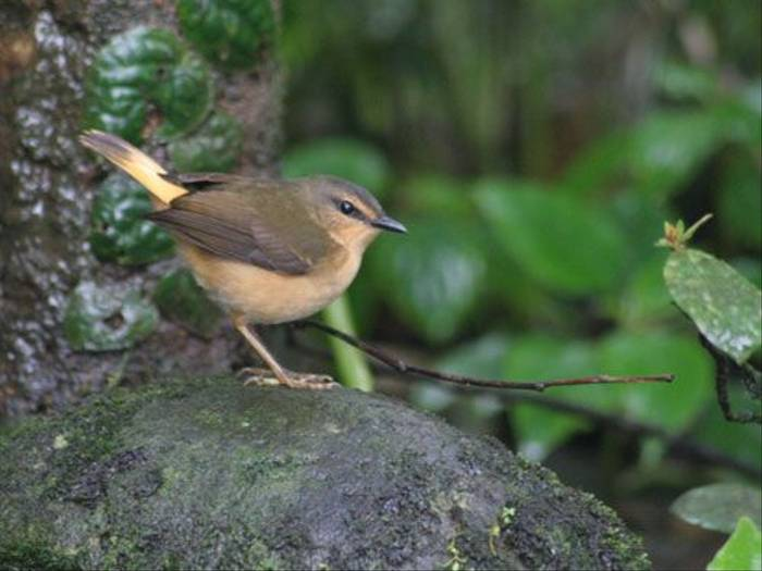 Buff-rumped Warbler (Byron Palacios)