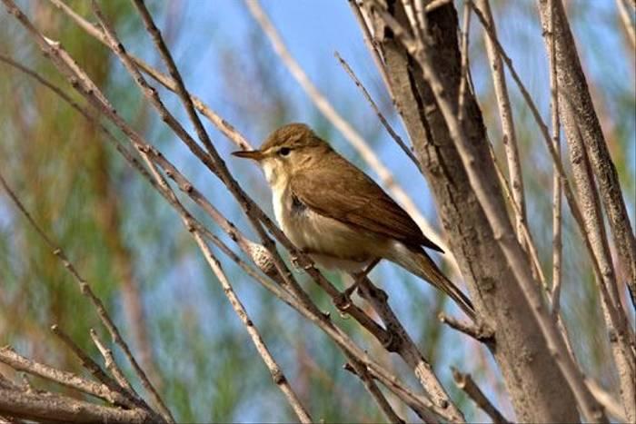 Sykes's Warbler (Alan Curry)