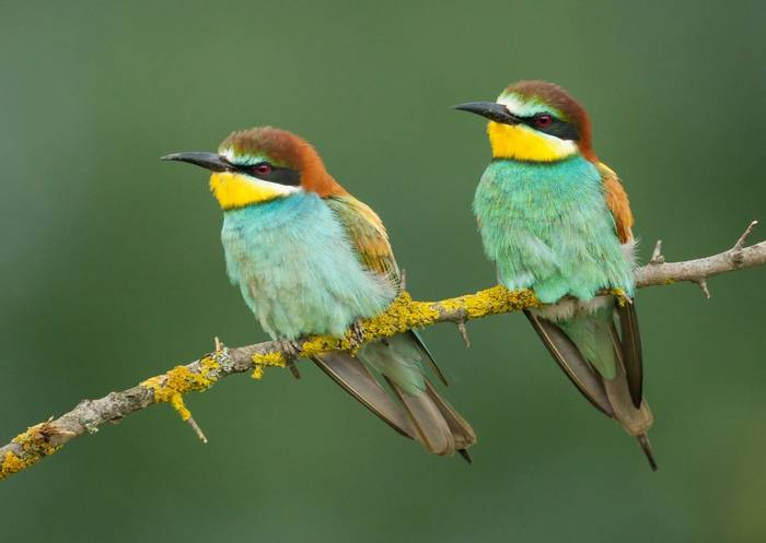 European Bee-eater by O Smart.jpg