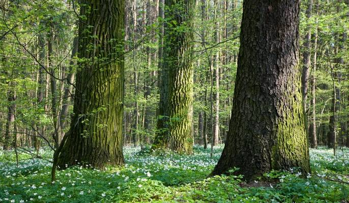Bialowieza Forest, Poland Shutterstock 45562645