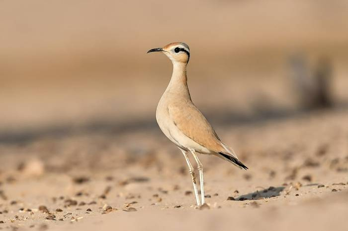 Cream-coloured-Courser-shutterstock_480091414.jpg
